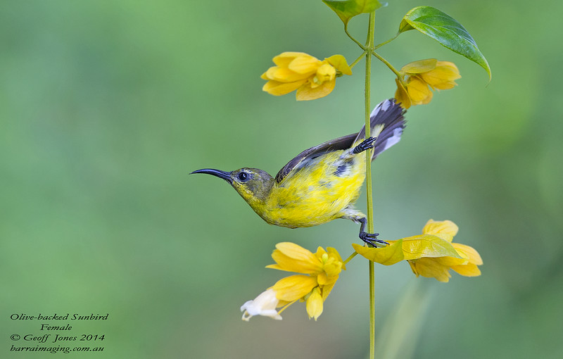Olive-backed Sunbird female