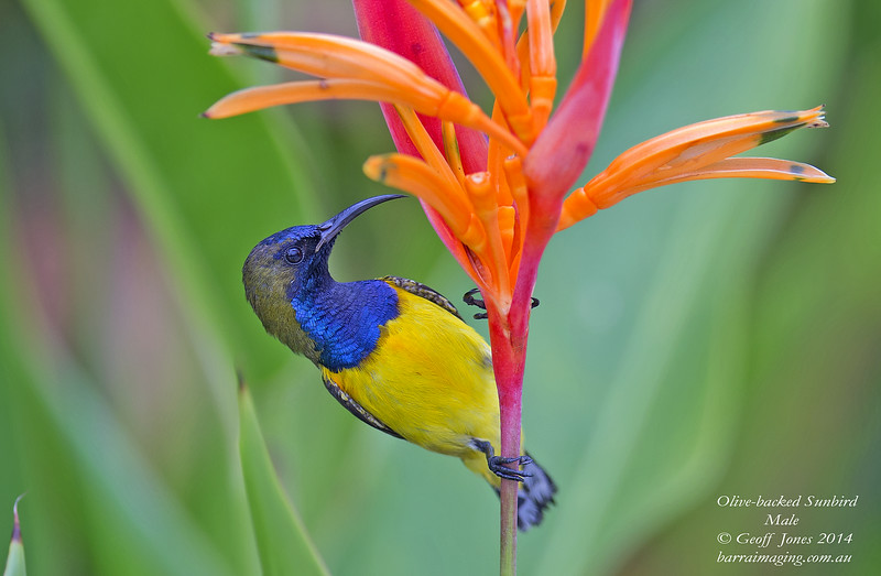 Olive-backed Sunbird male