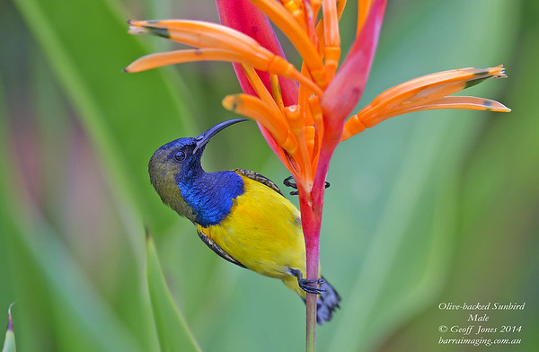 Olive-backed Sunbird male