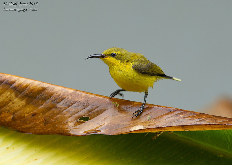 Olive-backed Sunbird female