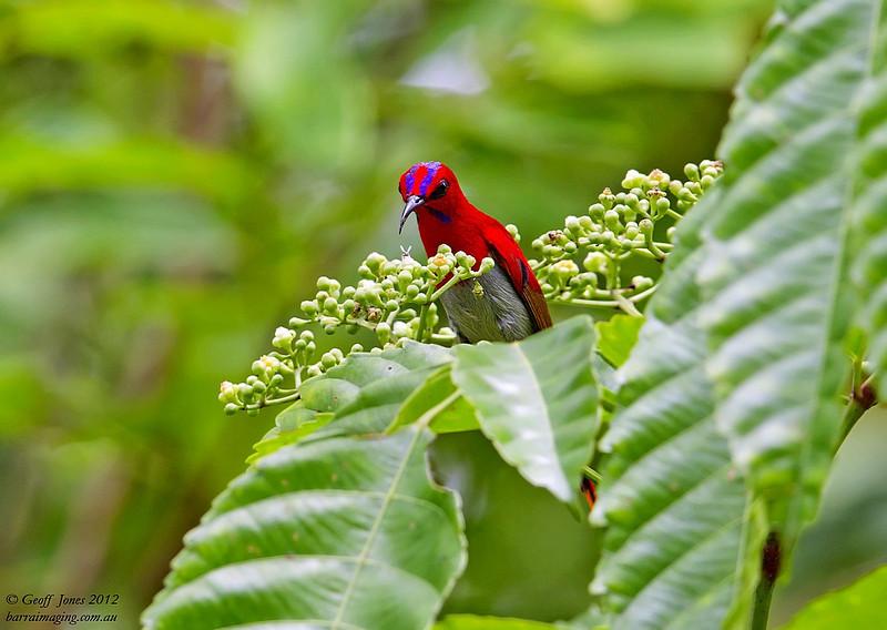 Temminck's Sunbird
