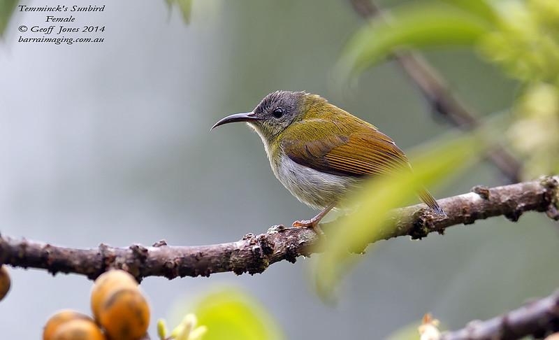 Temminck's Sunbird female