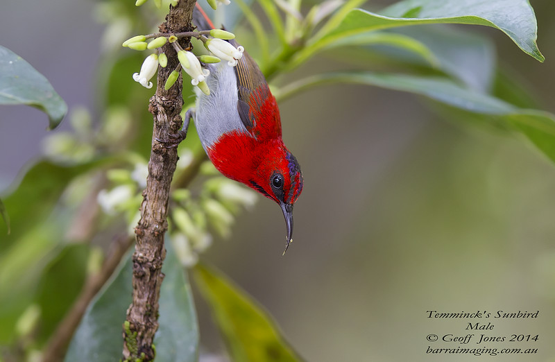 Temminck's Sunbird male