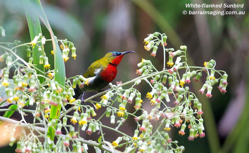 White-flanked Sunbird male