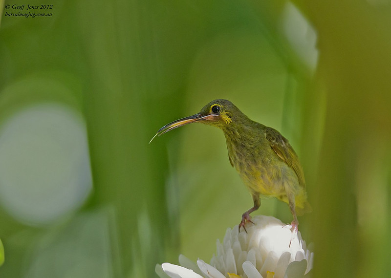 Yellow-eared Spiderhunter