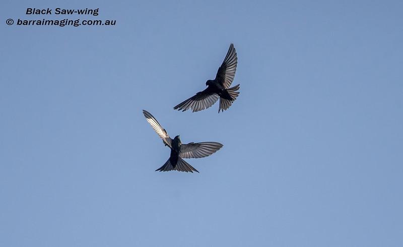 Black Saw-wing