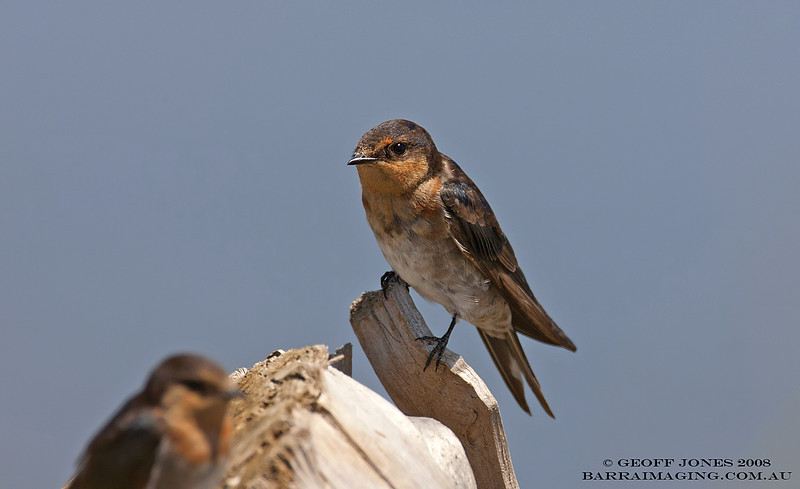 Welcome Swallow juvenile