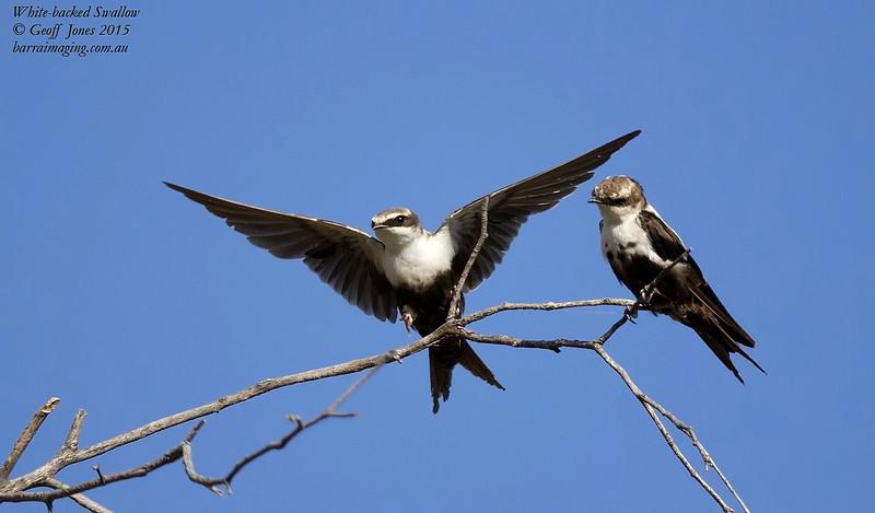 White-backed Swallow