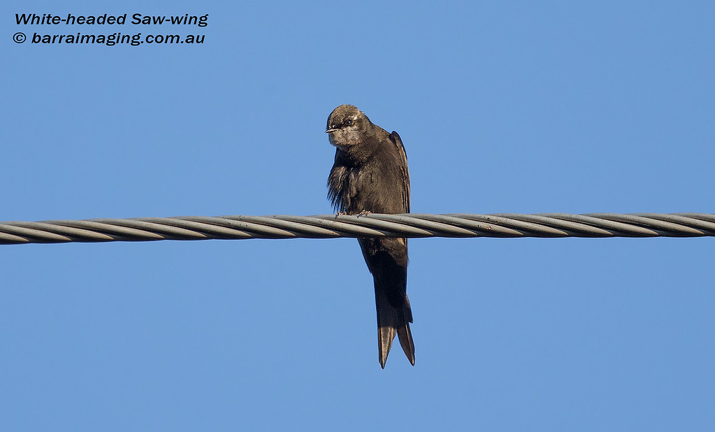 White-headed Saw-wing