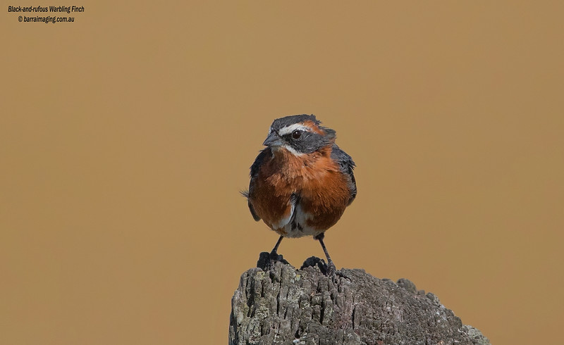 Black-and-rufous Warbling Finch