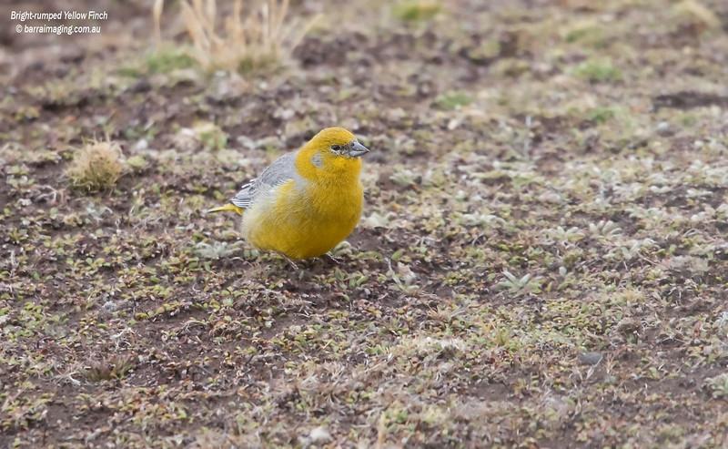 Bright-rumped Yellow Finch