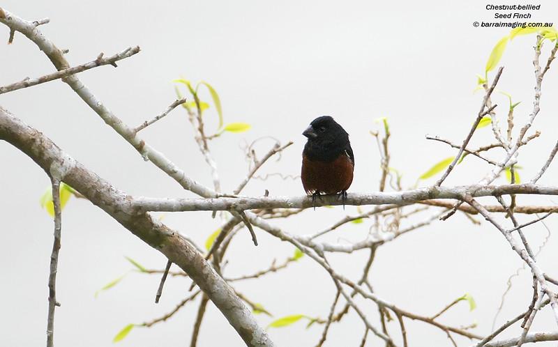 Chestnut-bellied Seed Finch male