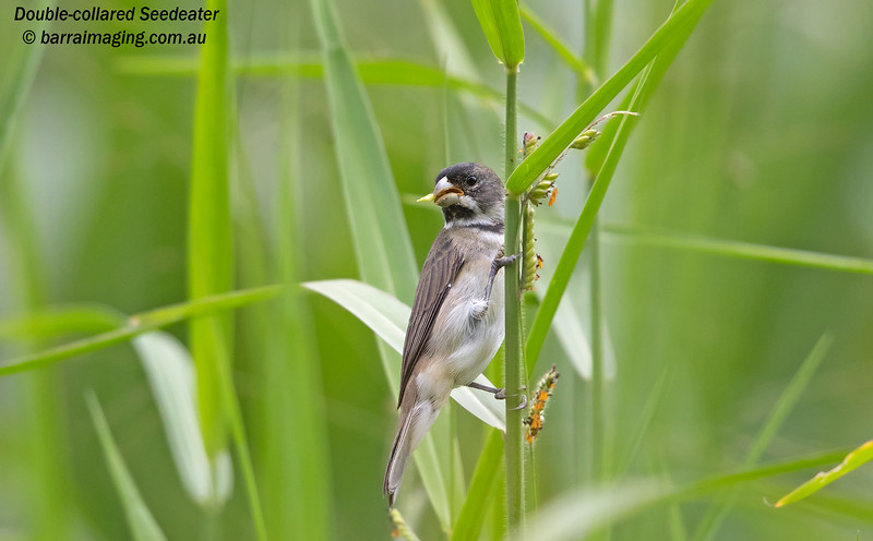 Double-collared Seedeater male