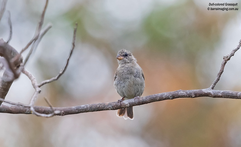 Dull-colored Grassquit
