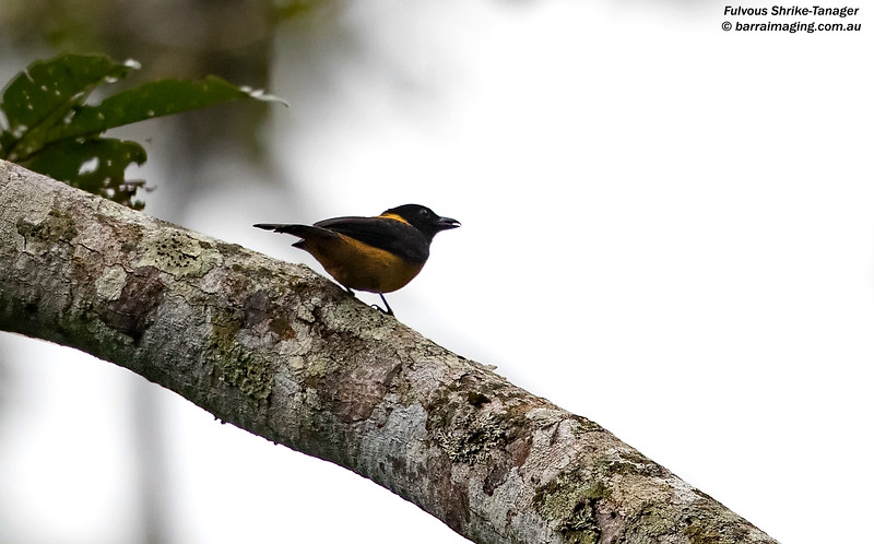 Fulvous Shrike-Tanager male