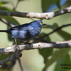 Golden-eyed Flowerpiercer