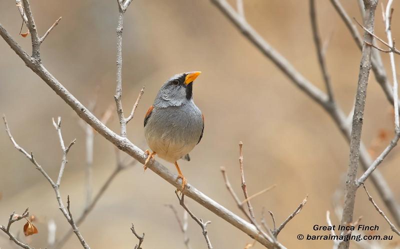 Great Inca Finch