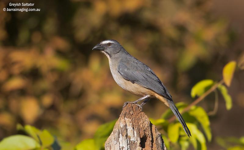 Greyish Saltator