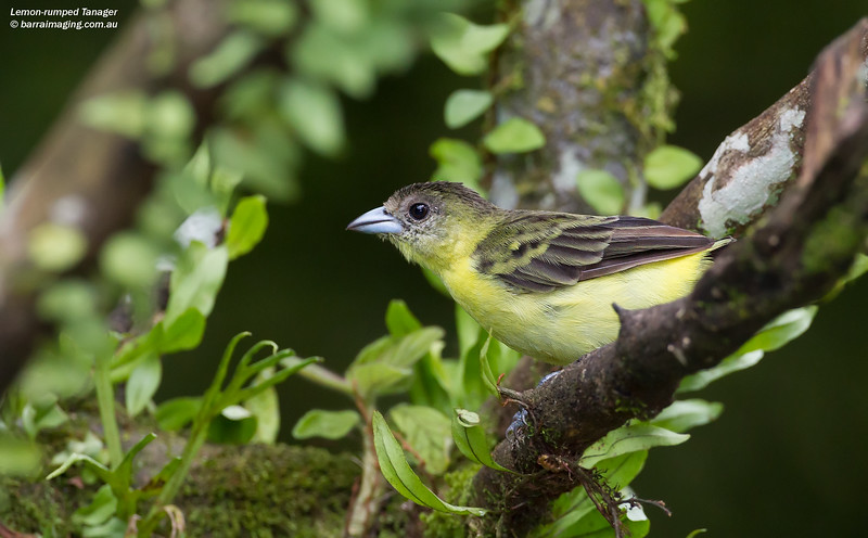 Lemon-rumped Tanager male