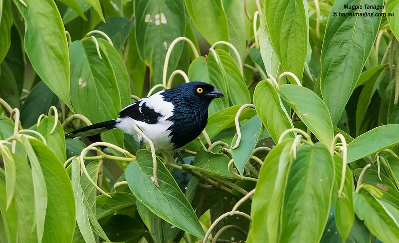 TANAGERS & ALLIES
