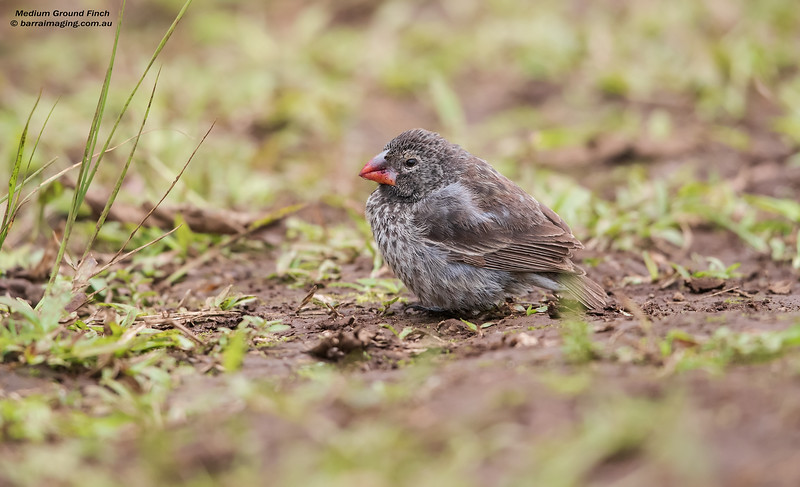 Medium Ground Finch female
