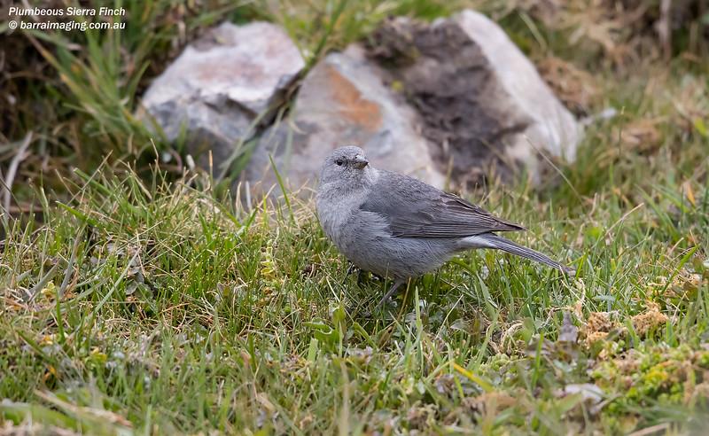 Plumbeous Sierra Finch male