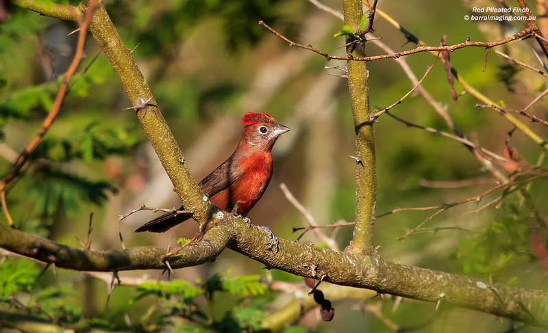 Red Pileated Finch male