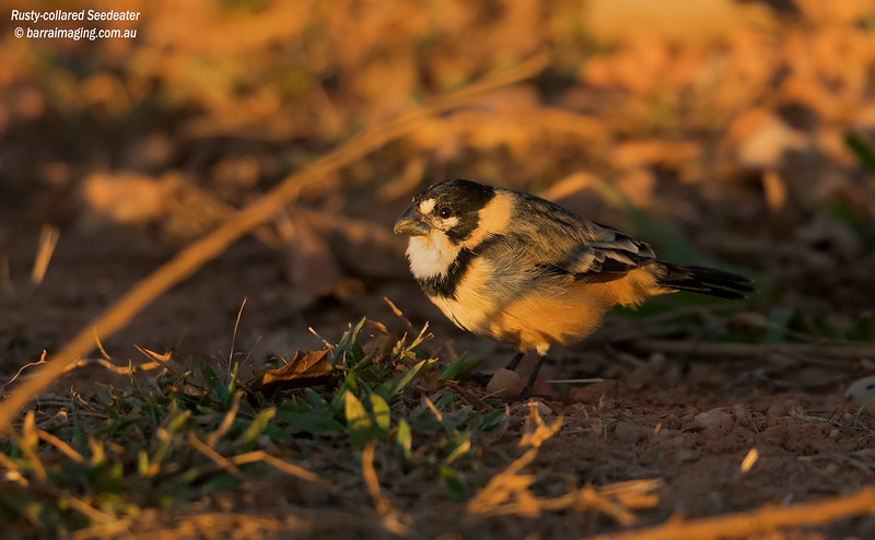 Rusty-collared Seedeater male