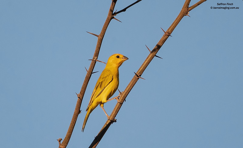 Saffron Finch male