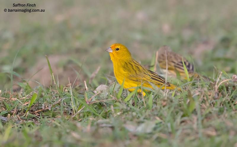 Saffron Finch male