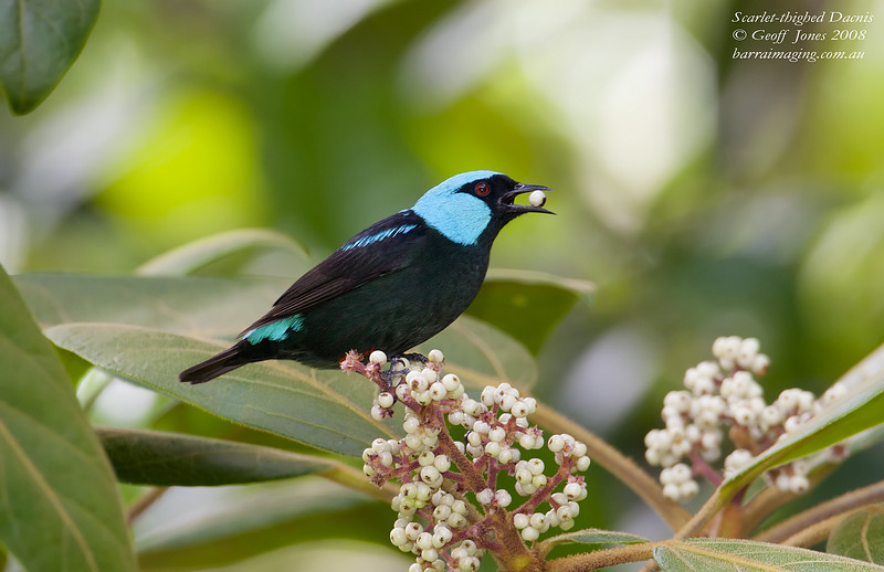 Scarlet-thighed Dacnis male