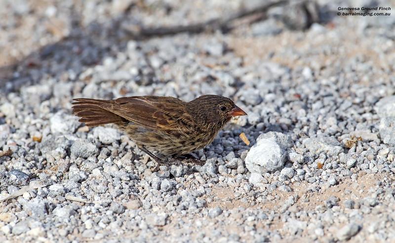 Genovesa Ground Finch female