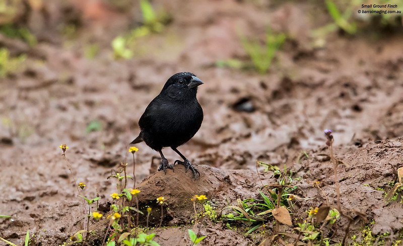 Small Ground Finch male