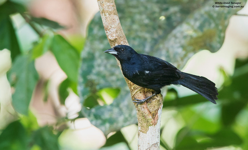 White-lined Tanager male