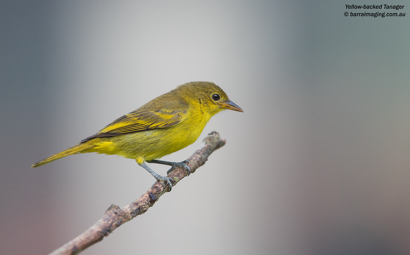Yellow-backed Tanager female