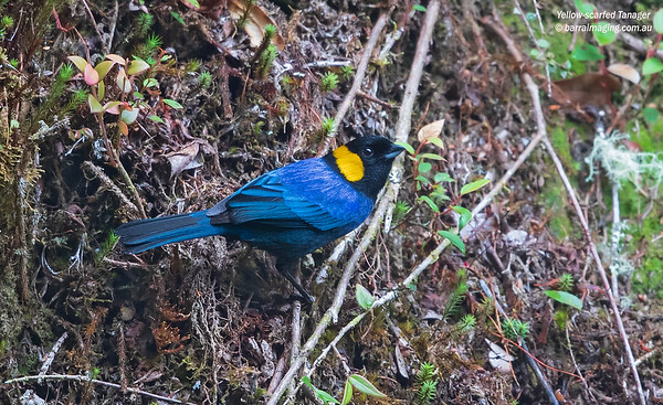 Yellow-scarfed Tanager