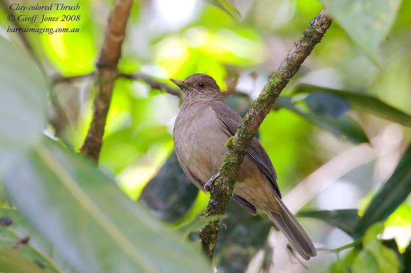 Clay-coloured Robin Turdus grayi Bosque De Paz Costa Rica March 2008 CR-CCTH-03