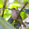 Clay-coloured Robin Turdus grayi Bosque De Paz Costa Rica March 2008 CR-CCTH-03