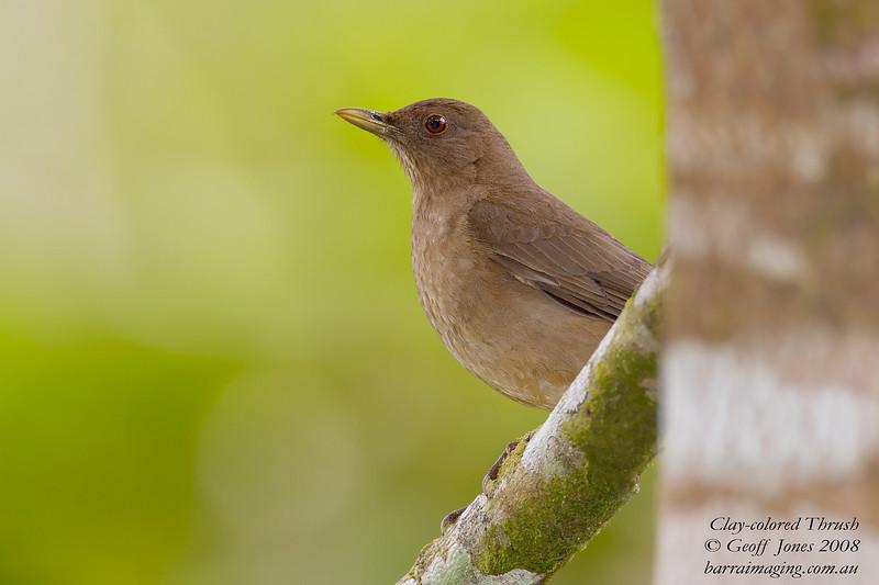Clay-coloured Robin Turdus grayi Bosque De Paz Costa Rica March 2008 CR-CCTH-02