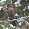Great Thrush Turdus fuscater Bella Vista Lodge Ecuador June 2010 EC-GRTH-01