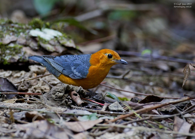 Orange-headed Thrush