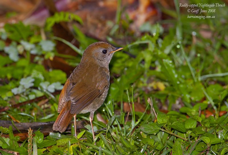 Ruddy-capped Nightingale-Thrush Catharus frantzii Bosque De Paz Costa Rica March 2008 CR-RCNT-02