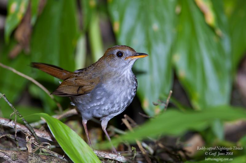 Ruddy-capped Nightingale-Thrush Catharus frantzii Bosque De Paz Costa Rica March 2008 CR-RCNT-01