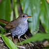 Ruddy-capped Nightingale-Thrush Catharus frantzii Bosque De Paz Costa Rica March 2008 CR-RCNT-01