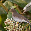 Swainson's Thrush Catharus ustulatus Bosque De Paz Costa Rica March 2008 CR-SWTH-01