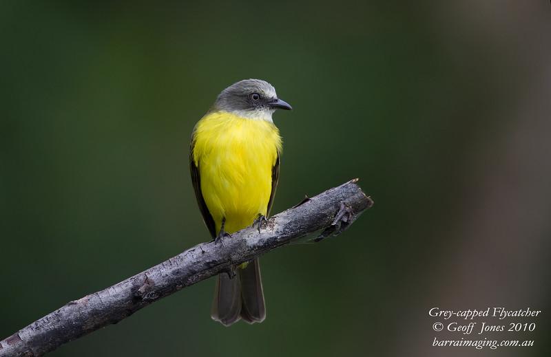 Grey-capped Flycatcher