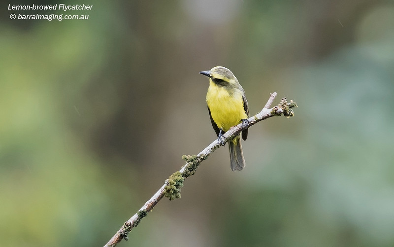 Lemon-browed Flycatcher