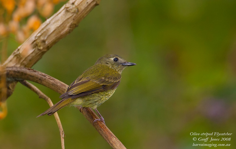 Olive-striped Flycatcher