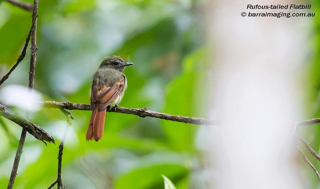 Rufous-tailed Flatbill