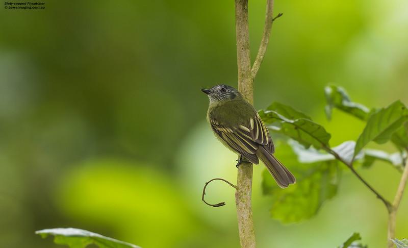 Slaty-capped Flycatcher